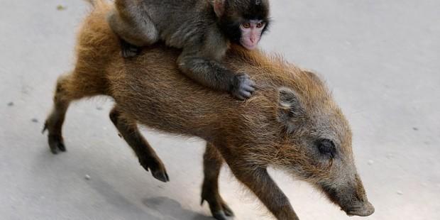 Қытайда маймыл мен шошқаның бірлескен ұрпағы өмірге келді - на bugin.kz