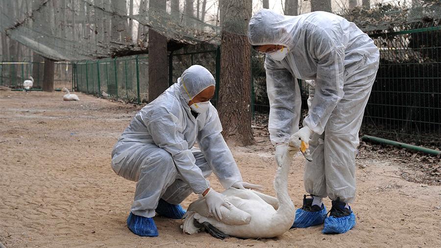 Жығылғанға жұдырық: Қытайда құс тұмауы эпидемиясы басталды - на bugin.kz