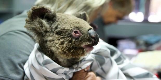 Өрттен аман қалған коалаларды қырған кім? - на bugin.kz